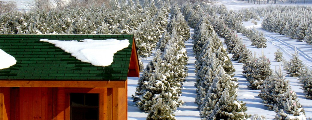 Pretty Trees All in a Row - Ohio Christmas Tree Association